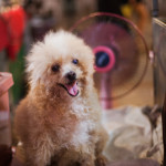 Poodle dog, dog cooling down with a fan